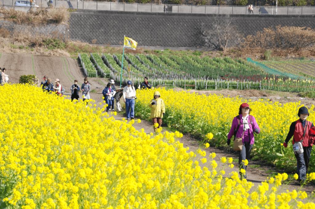 いぶすき菜の花マーチ | 鹿児島県