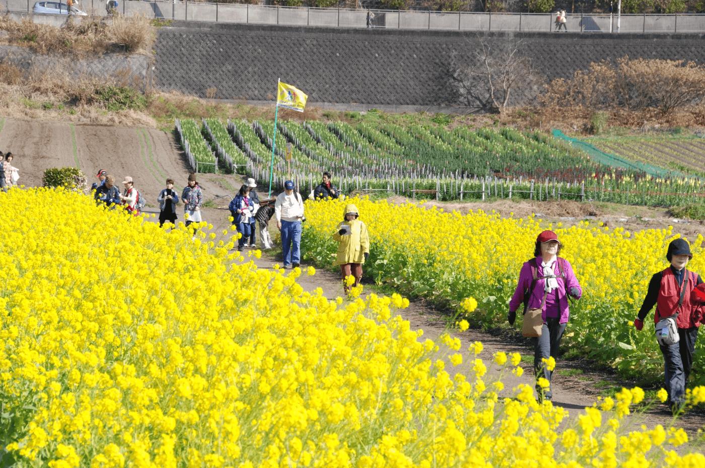 いぶすき菜の花マーチ   鹿児島県