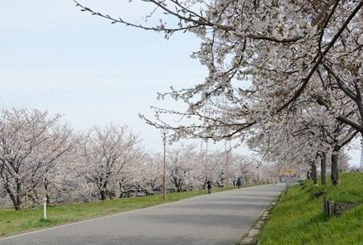 燕さくらマラソン | 新潟(大河津分水さくら公園)